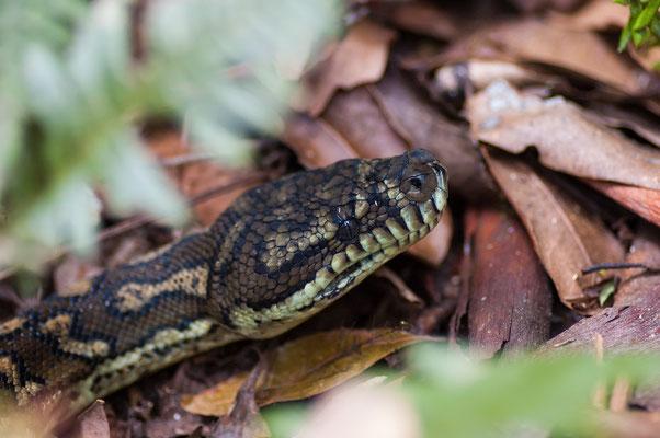 Rautenpython - Morelia spilota - Carpet Python