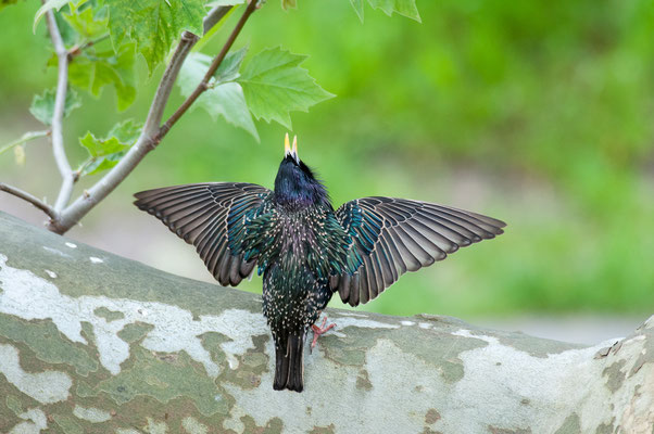 Star - Sturnus vulgaris - common starling