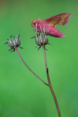 Kleiner Weinschwärmer - Deilephila porcellus - Small Elephant Hawk-moth
