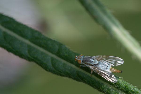 Bohrfliege - Tephritidae