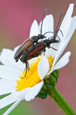 Kleiner Schmalbock - Stenurella melanura - small lepturine beetle