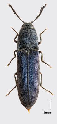 Limoniscus violaceus (Müller, 1821)   Veilchenblauer Wurzelhals-Schnellkäfer