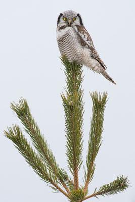 Sperbereule - Surnia ulula - northern hawk-owl