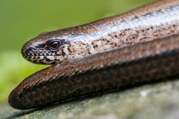 Blindschleiche - Anguis fragilis - slow worm