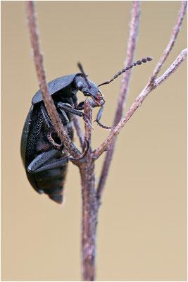 Schwarzer Schneckenjäger - Phosphuga atrata