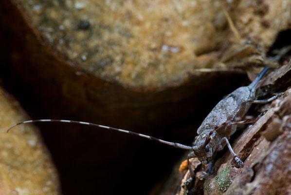Zimmermannsbock - Acanthocinus aedilis - timberman