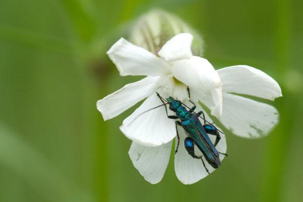 Grüner Scheinbockkäfer - Oedemera nobilis - False Oil Beetle