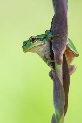 Laubfrosch - Hyla arborea - european tree frog