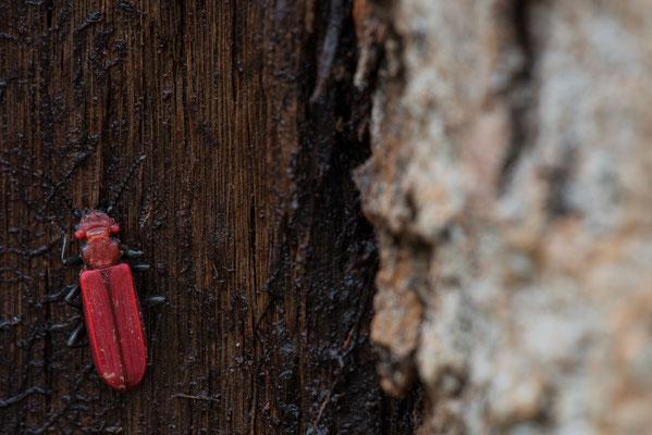 Scharlachroter Plattkäfer - Cucujus cinnaberinus - scarlet flat bark beetles