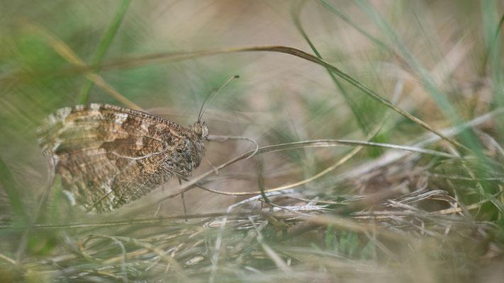 Ockerbindiger Samtfalter - Hipparchia semele - Grayling