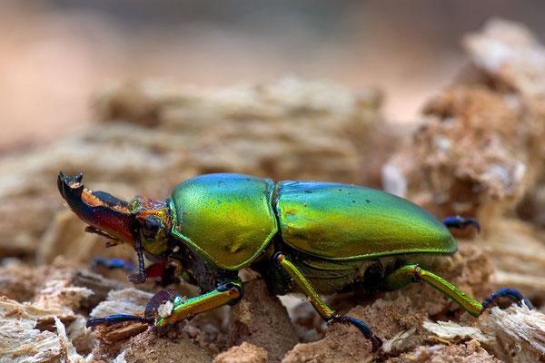 Lamprima aurata - golden stag beetle