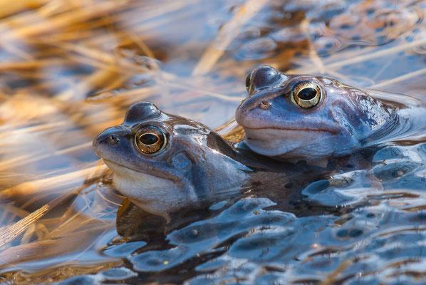 Moorfrosch - Rana arvalis - moor frog