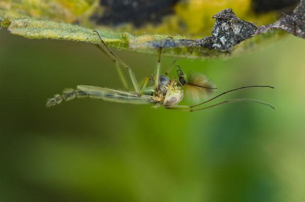 Zuckmücke - Chironomidae