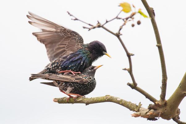 Star - Sturnus vulgaris - common starling