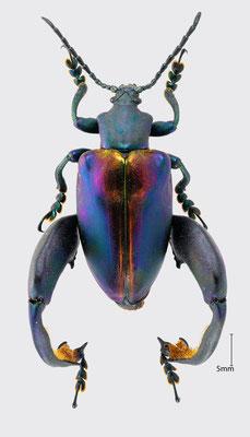 Sagra sp.   Froschkäfer aus Malaysia