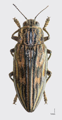 Chalcophora mariana (Linnaeus, 1758)   Marienprachtkäfer