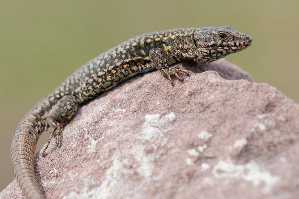 Mauereidechse - Podarcis muralis - common wall lizard