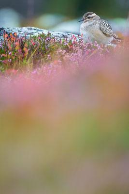 Mornellregenpfeifer - Charadrius morinellus - Eurasian dotterel