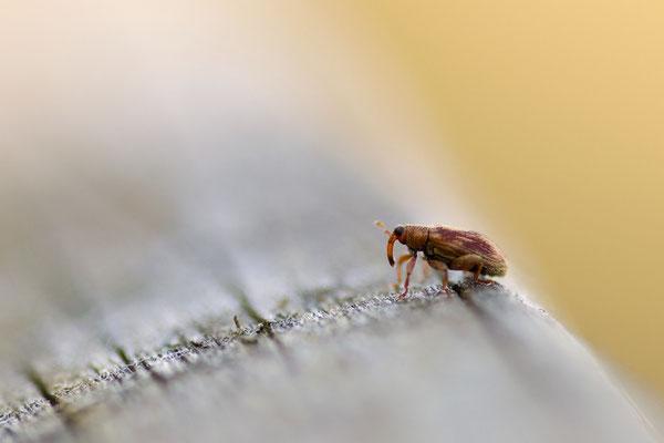 Goldbrauner Erlen-Springrüssler - Rhynchaenus testacaeus