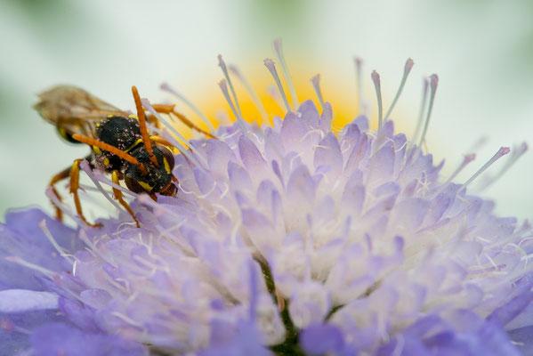 Wespenbiene - Nomada sp.