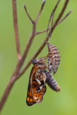 Wachtelweizen-Scheckenfalter - Melitaea athalia - heath fritillary