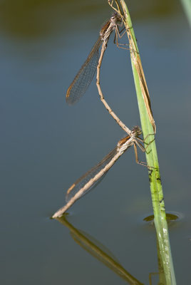 Gemeine Winterlibelle - Sympecma fusca - common winter damselfly