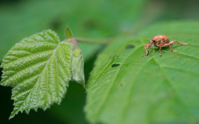 Haselnussbohrer - Curculio nucum - nut weevil