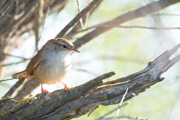 Seidensänger - Cettia cetti - Cetti's warbler