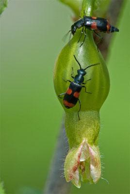 Gebänderter Warzenkäfer - Celidus fasciatus