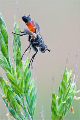 Rotgefleckte Raupenfliege - Eriothrix rufomaculata c.f.