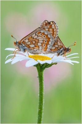 Goldener Scheckenfalter - Euphydryas aurinia - marsh fritillary