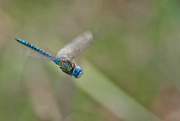 Südliche Mosaikjungfer - Aeshna affinis - blue-eyed hawker