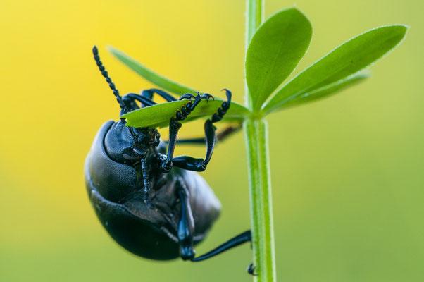 Labkrautkäfer - Timarcha goettingensis - bloody-nosed beetle