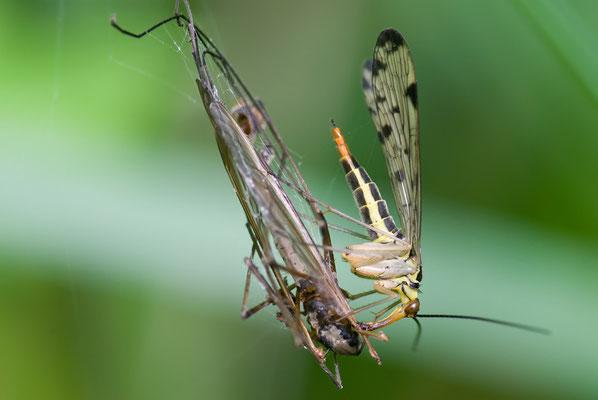 Schnabelfliege - Panorpa hybrida