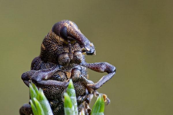 Großer Brauner Rüsselkäfer - Hylobius abietis - large pine weevil