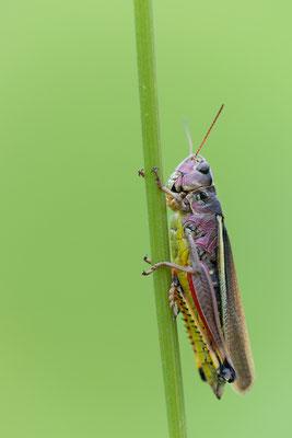 Sumpfschrecke - Stethophyma grossum / Mecostethus grossus - Large Marsh Grasshopper