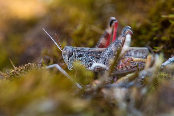 Italienische Schönschrecke - Calliptamus italicus - Italian locust