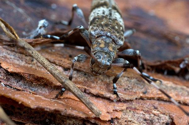 Braunbindiger Zimmerbock - Acanthocinus griseus