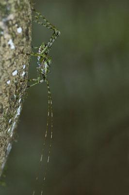 Australische Langfühlerschrecke - australian Ensifera