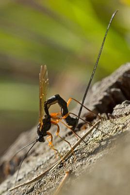 Schlupfwespe - Ichneumonidae sp.