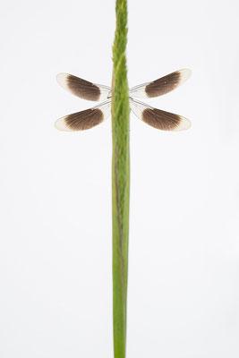 Gebänderte Prachtlibelle - Calopteryx splendens - banded demoiselle