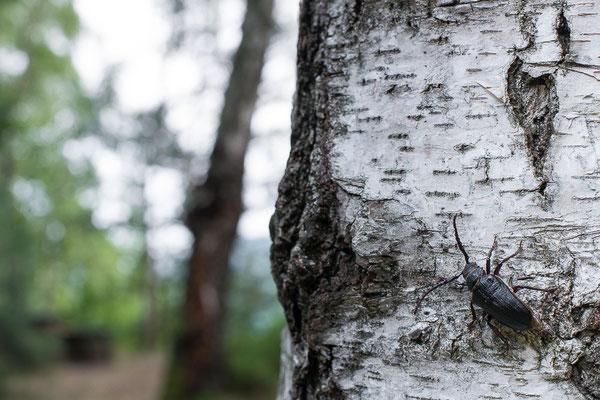 Sägebock - Prionus coriarius - the sawyer