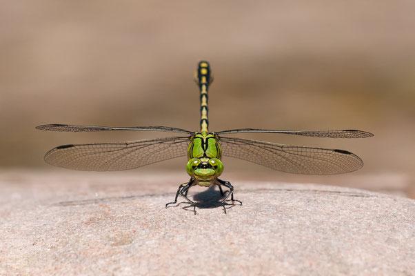 Grüne Flussjungfer - Ophiogomphus cecilia - green snaketail