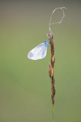 Tintenfleck-Weißling - Leptidea sinapis agg. - wood white