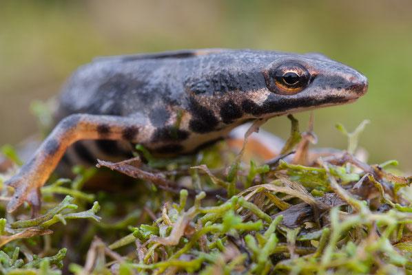 Teichmolch - Lissotriton vulgaris - Smooth newt