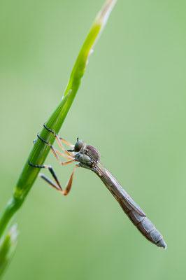 Gemeine Schlankfliege - Leptogaster cylindrica - Striped Slender Robberfly