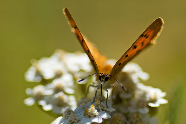 Dukatenfalter - Lycaena virgaureae - scarce copper