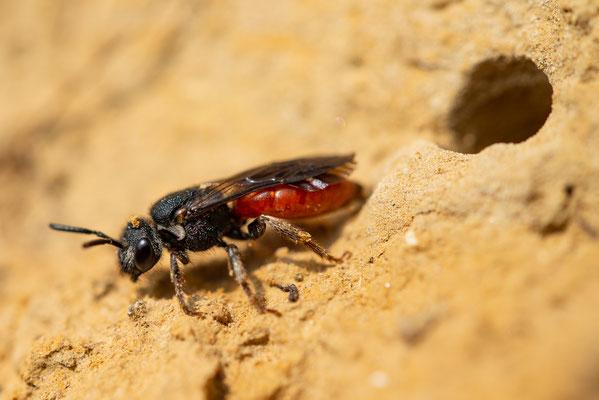 Blutbiene - Sphecodes albilabris