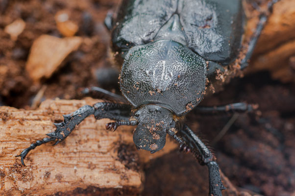 Eremit / Juchtenkäfer - Osmoderma eremita - hermit beetle