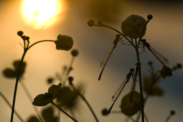 Hufeisen-Azurjungfer - Coenagrion puella - azure damselfly